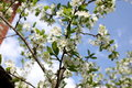 White flowers of the plum blossoms Royalty Free Stock Photo