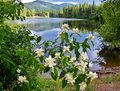 White flowers with pretty reflective lake in the background this beautiful scene took place idaho bended down front of this water Royalty Free Stock Image