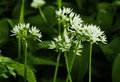 The white Flowers of Ramsons or Wild Garlic, Allium ursinum