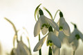 White flowers snowdrops closeup macro shot Royalty Free Stock Image