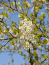 White flowers in spring orchard on blue sky Stock Images