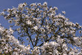 White flowers of star magnolia stellata on blue sky background Stock Photo