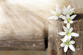 White flowers and sunlight in the sunshine on a wooden background Stock Photography