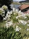 White flowers in their splendor Royalty Free Stock Photo