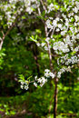 White flowers on tree in spring woods Stock Photography