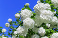 White flowers of Viburnum ordinary on blue sky background