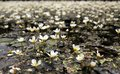 White flowers in water lots of growing the river Stock Photos