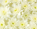 White flowers in water pattern of Royalty Free Stock Image