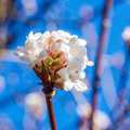 White flowers in winter time closeup view of on a plant blooming with sky background Royalty Free Stock Photos