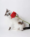 White fluffy blue-eyed cat on a light background with a red rose.