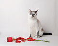White fluffy blue-eyed cat sitting on a white background in a graceful pose next to a red rose and petals Royalty Free Stock Photo