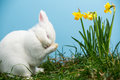 White fluffy bunny scratching its nose daffodils blue background Stock Photos