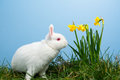 White fluffy bunny sitting daffodils blue background Stock Images