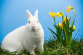 White fluffy bunny sitting daffodils easter eggs blue background Royalty Free Stock Photography