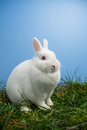 White fluffy bunny sitting grass blue background Stock Image