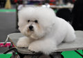 White fluffy dog ​​bichon frise beautiful snow сurly lap is a small breed of of the bichon type they are popular pets Royalty Free Stock Photo