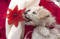 White fluffy puppy eating christmas flower little about to eat a decoration Stock Photo