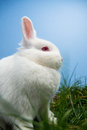 White fluffy rabbit sitting grass blue background Royalty Free Stock Image