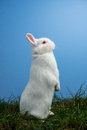 White fluffy rabbit standing up grass blue background Royalty Free Stock Images
