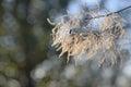 White Fluffy Smoke Tree Branch...