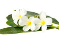 White frangipani flowers on background Stock Photos