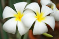 White frangipani flowers and fragrance plumeria alba Stock Photo