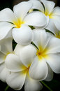 White frangipani flowers and fragrance plumeria alba Royalty Free Stock Photos
