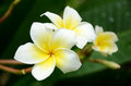 White frangipani flowers and fragrance plumeria alba Stock Photos