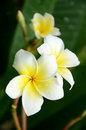 White frangipani flowers and fragrance plumeria alba Royalty Free Stock Photography