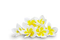 White Frangipani flowers on isolate background Stock Image