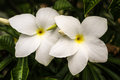 White frangipanis native frangipani flowers in australia Stock Images
