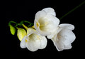 White Freesia on Black Background Royalty Free Stock Images