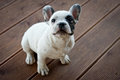 White french bulldog on the wooden floor Royalty Free Stock Photo