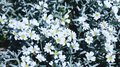 White and fresh flowers on summer field. Beautiful white floral Royalty Free Stock Photo