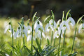 White fresh snowdrops flowers on spring meadows. Royalty Free Stock Photo