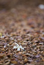 White freshly fallen petal lying on small rocks in the garden Stock Images