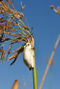 White frogg small frog hanging on reeds in okavango delta in botswana Stock Photos