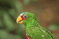 White fronted amazon the detail of Stock Photo