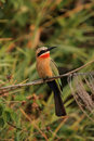 White-fronted Bee-eater Royalty Free Stock Photo
