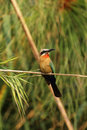 White-fronted Bee-eater Stock Photo