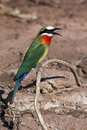 White Fronted Bee-Eater - Botswana Royalty Free Stock Images