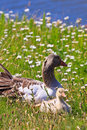White-fronted Goose With Young...