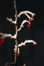 White frost twig with red fruits called rose hip rosa canina covered all over with in front of black background Royalty Free Stock Photography