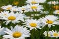 White garden chamomiles