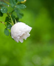 White garden rose Stock Image