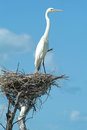 White gauze on his nest at isla de los pajaros on mexico Royalty Free Stock Photo