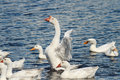 White geese and ducks swim and dive in the pond Royalty Free Stock Photo