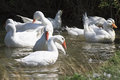 White geese and ducks swimming on blue water in summer Royalty Free Stock Photo