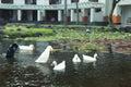 White geese in the lake, farmyard goose. Park of Nusa Dua, Bali island, Indonesia. Royalty Free Stock Photo