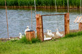 White geese near a pond and a metal fence outdoors Royalty Free Stock Images